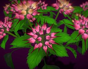 3D model Flower Physoplexis Omosa