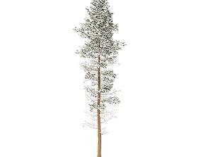 3D model Pine Tree with Snow 25m