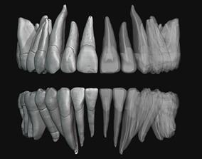 Human Teeth HQ with Pulp cavity 3D print model