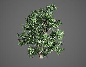Korean Stewartia Spring Tree 3D asset