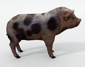 3D asset Mini Pig