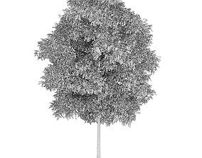 3D Silver Birch 5 Betula pendula 44936