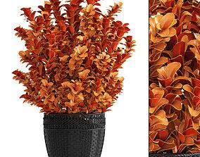 flower Plant in pot berberis 3D model