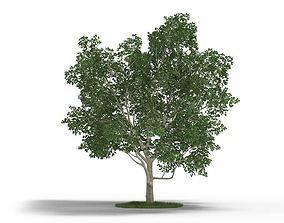Tree Magnolia Virginiana 3D model