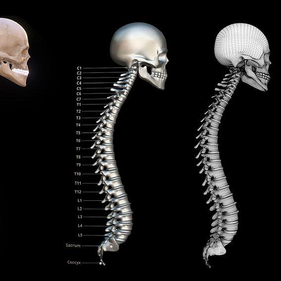 Human Vertebral Column