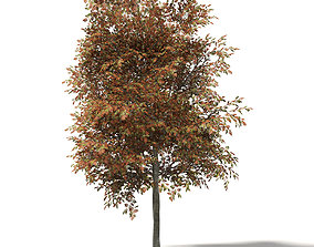 Mountain Ash 3D Model 8m