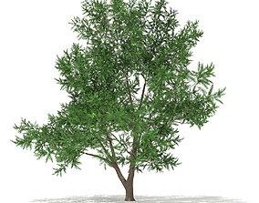 3D Scots Pine Tree Pinus sylvestris 8m