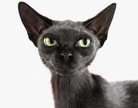 Cat Black Fur Shorthair Rigged XGen Core 3D