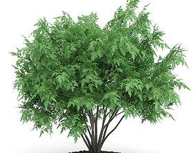 3D model Amur Maple Acer ginnala