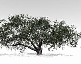 Live Oak - Variation F 3D model