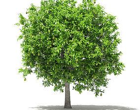Avocado Tree with Fruits 3D