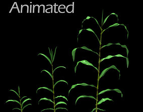Corn Plant Growth 3D model