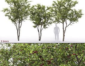 Cherry-tree 01 3D