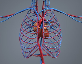 Blood circulation system 3D model VR / AR ready